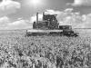 Целина, 1955 год.Уборка проса в совхозе им. Чапаева