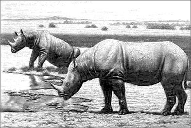 носороги Мерка