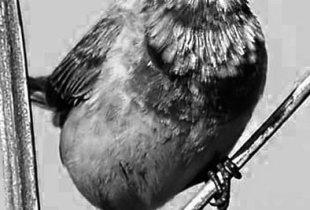 В Пугачевском районе  гнездятся почти  все певчие птицы России