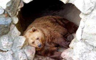 Трутся спиной медведи о чемодан без ручки