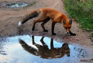 Поселок Чапаевский закрыли на карантин из за бешеной лисы
