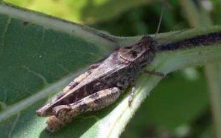 10 гектаров земли в Пугачевском районе максимально заражены личинками саранчи
