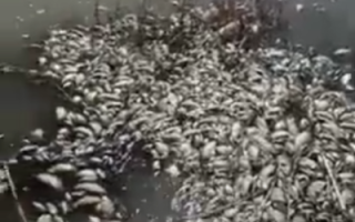 В Пугачевском районе зафиксирован массовый мор рыбы (видео)