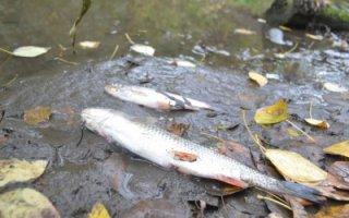 От 70 до 100 процентов волжской рыбы заражено