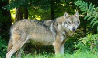Сезон охоты на волков