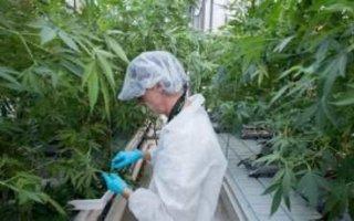 Правительство РФразрешило выращивать коноплю имак