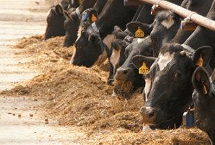 Почти половина собранного в области урожая пшеницы годится только на корм скоту